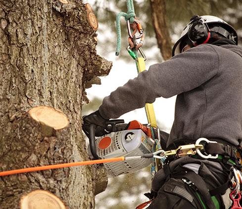 Hilliard's Stump & Tree Removal employee cutting a tree down